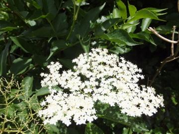 セイヨウニワトコの花