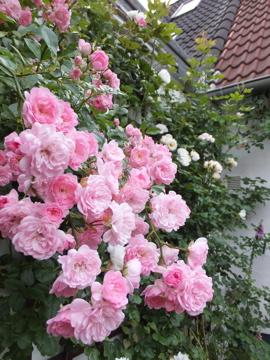 ピンクつるバラ