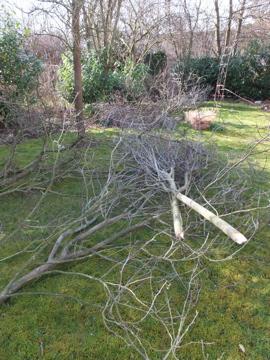 剪定した木