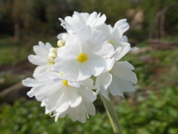 玉咲きサクラソウ