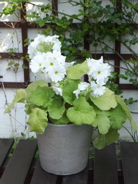 プリムラ(白)