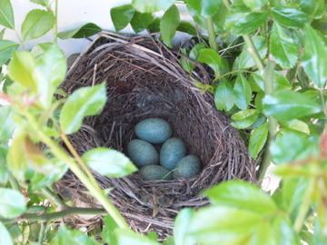 クロウタドリの卵
