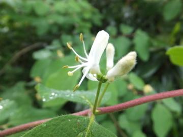 スイカズラ科花