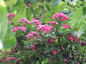 セイヨウサンザシ花