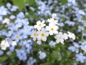 忘れな草白花