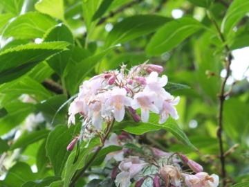 アケボノウツギ花