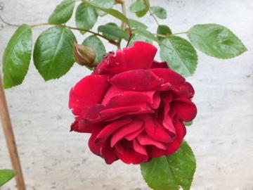 つるバラ 赤