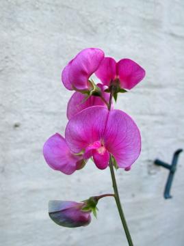 スイートピーの花