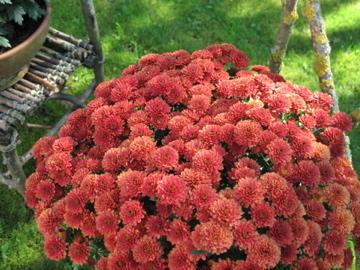 ポットマムの花