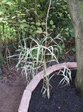 ススキ科の植物