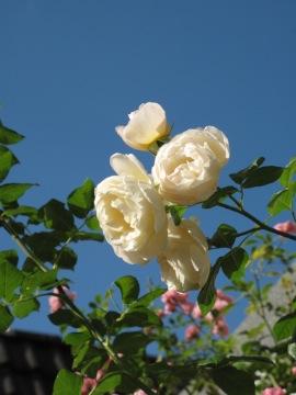 白のつるバラ