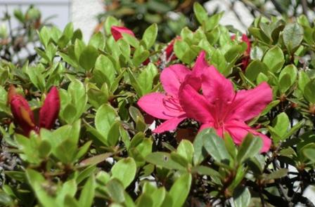 ツツジ開花