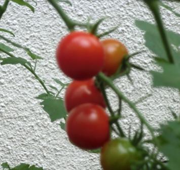 赤トマト1