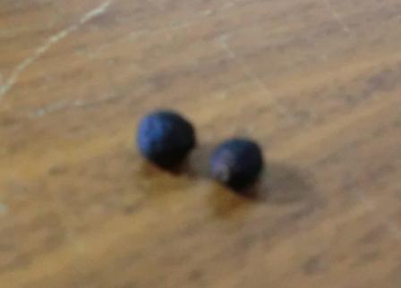 オシロイバナの種