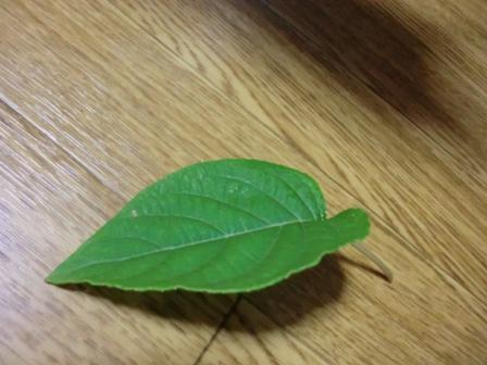 マタタビの葉1