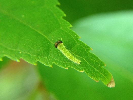 オオムラサキの1齢幼虫。