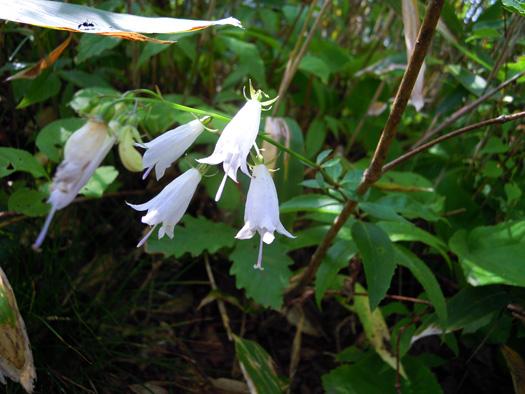 モイワシャジンの花。
