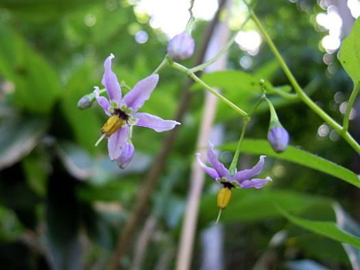 ヤマホロシの花。