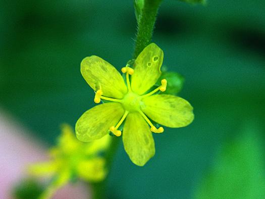 ヒメキンミズヒキの花。