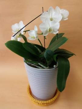 白いコチョウ蘭