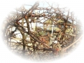 ボケの木1