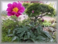 芍薬と亀千代