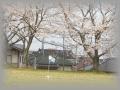 桜コート2