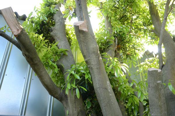 日当たりがわるいのでスダジイの枝を友と一緒に切る