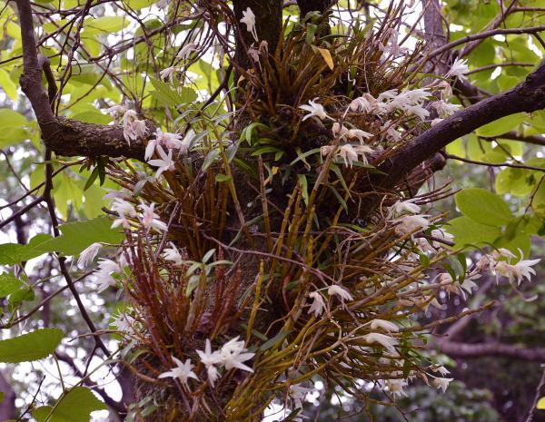 花の唇弁の下方は袋状になりその中に蕊柱を抱え込んでいる(神津島花図鑑より)