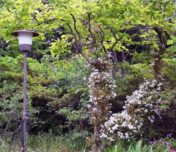 暗くなってしまいましたので開花時の写真をご覧ください(2014/05/26)