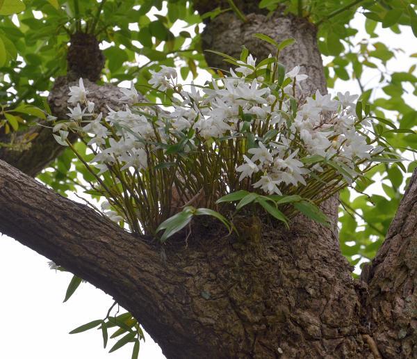 伊豆大島椿花ガーデン(リス村)のセッコク