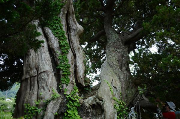 青野川左岸の巨樹