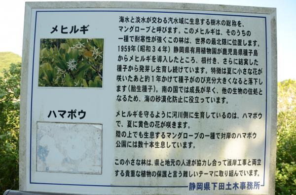 静岡県有用植物園の園長だった竹下康夫さん研究員の野口さんらが移植したハマボウとメヒルギ