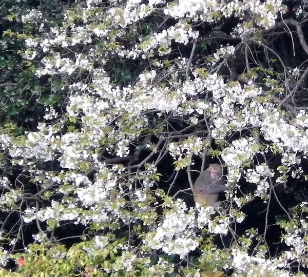 早咲きオオシマザクラ
