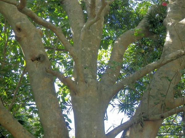大昔の噴火口の中に数百年経つ藪椿の大樹が...