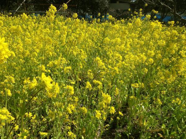 「シクボ」の菜の花畑でした
