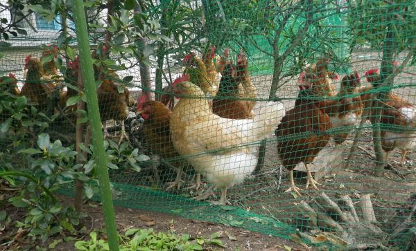 下シクボ中村鶏園さんのゴトウモミジ