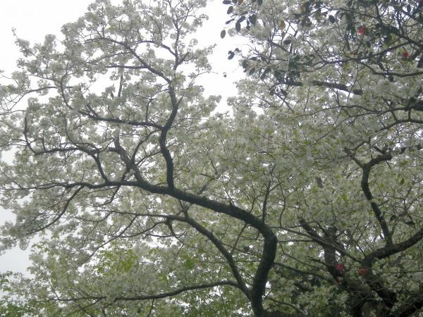 都立大島公園のオオシマザクラ