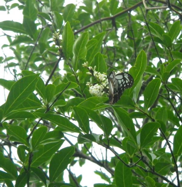 ハチジョウイボタで吸蜜中 南下する秋はヒヨドリバナの蜜を吸います