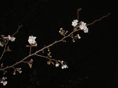 2014桜 開花
