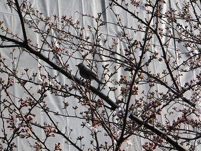 3日目の桜