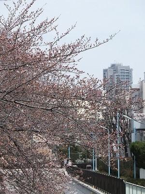 うちのマンションと桜