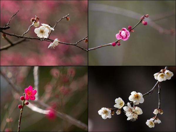 梅の花 N