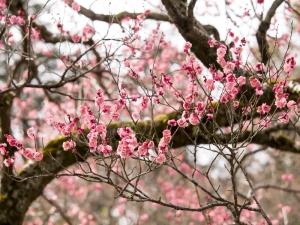 梅の花 C