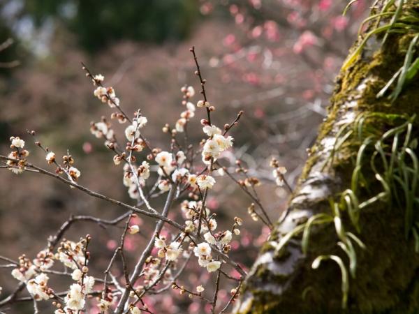 梅の花 E