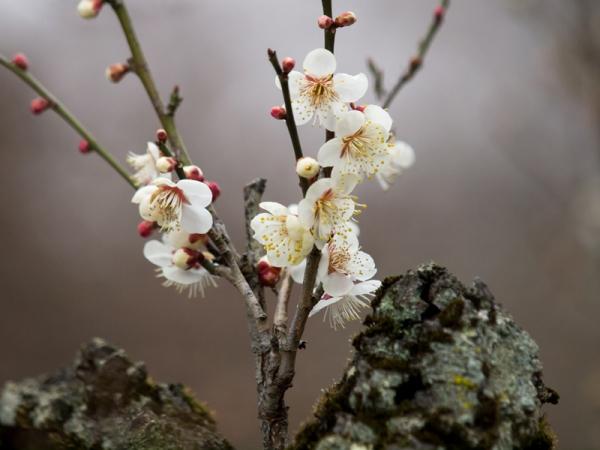 梅の花 L