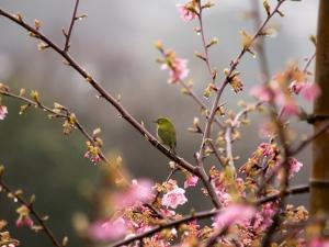 河津桜とメジロ E