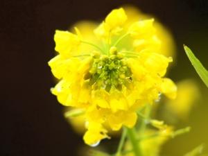 菜の花 C