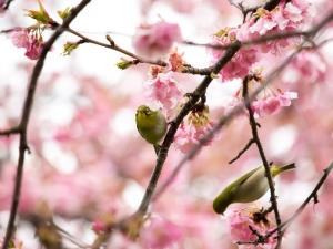 河津桜とメジロ F