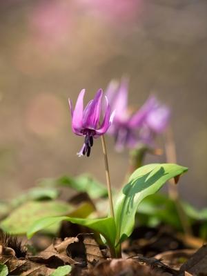 かたくりの花 D